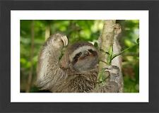 53x38cm Framed Print-Brown-throated Three-toed Sloth - Hanging fr-1306105_8167
