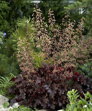 HEUCHERA~MELTING FIRE~*LIVE 2 YEAR OLD PLANT* PERENNIAL SHADE HOSTA ASTILBE PAL