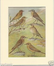 Red-Throated, Water, Richard's & Tawny Pipit - Mounted 1960's Bird Print #809338