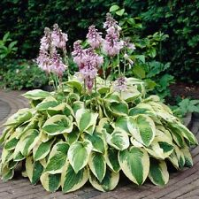 HOSTA 'WIDE BRIM' PERENNIAL SHADE PLANT FLOWERS ATTRACT HUMMINGBIRDS #1 ROOT DIV