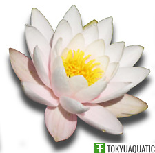 Water Lily Nymphaea Colossea White Hardy Tuber Live Pond Plant Aquatic Not Seed
