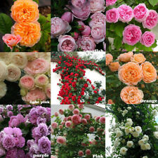100X climbing rose rosa multiflora perennial fragrant flower seeds home decFBBB