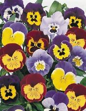 JOKER SERIES PANSY 25 SEEDS YOU JUST HAVE TO PICK THE ONE YOU LIKE THE BEST