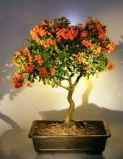 "Pyracantha Bonsai Tree Flowering Evergreen Outdoor Bonsai 16 yr 17"" tall"