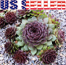 30+ Hens and Chicks Sempervivum Seeds, Low-growing Decorative Ground Cover - USA