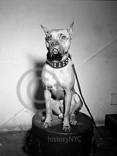 1946 Billie Holiday's Dog Mister Pitbull Vintage Photo Historical Largest Sizes