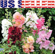 30+ Chater's Double Mix Hollyhock Seeds Malva Flower 7 Colors Blooms Heavily