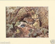 Hedge-Sparrow - Mounted 1930's Vintage Bird Print