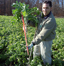 Groundhog™ Radish seed! Till Soil, Store soil Nutrition, Spring/Fall Cover Crop!