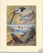 Magpie, Jay, Jackdaw & Chough - Mounted 1960's Bird Print #775606
