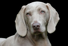 Loyal Weimaraner Portrait - Animal Poster - Dog Photo - Dog Print - Wall Art