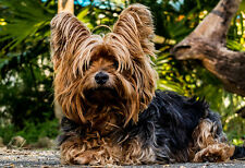 Yorkshire Terrier Portrait - Animal Poster - Dog Photo - Dog Print - Wall Art