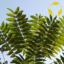 TREE OF HEAVEN Ailanthus Altissima SEEDS + EXTRA & FLAT SHIPPING