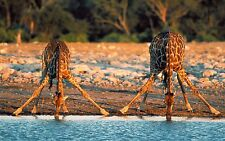 Two giraffes Home Decor Canvas Print, choose your size.