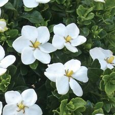 Gardenia - Cape Jasmine Seeds -  Fragrant Hardy Shrub or Houseplant