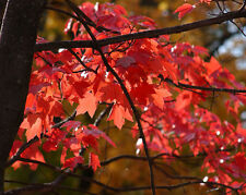 Acer Rubrum (Soft, Water, Swamp Maple) Seeds sold by weight multi listing