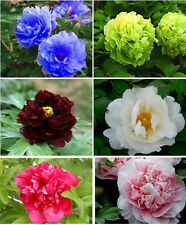 1 Pack 20 Peony Flower Seeds Colorful Peony Paeonia suffruticosa Garden Flowers