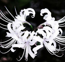 2 Bulbs- White Lycoris Radiata, Spider lily, Lycoris Bulb