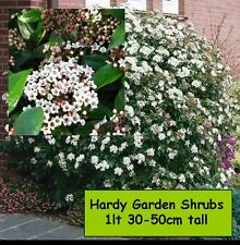 Garden Shrubs Viburnum tinus WINTER FLOWERS Evergreen Plant Shade loving Bush