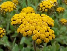 Helichrysum Essential Oil 100% Pure Natural PREMIUM Therapeutic Grade Oils