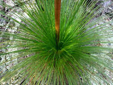 Fresh Quality Black Boy Tree Seeds Xanthorrhoea Preissii Hardy Native Plant Seed