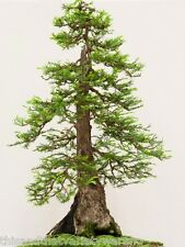Sequoiadendron giganteum Giant Sequoia  Tree Seeds Fast Shipping From USA!