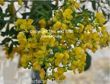 Cassia corymbosa  Texas Flowery Tree Seeds Fast Same Day Shipping From USA!