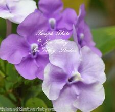 Brunfelsia pauciflora Yesterday Today and Tomorrow  Seeds   Tropical  Flower