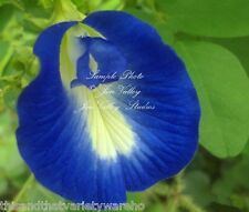 Clitoria ternatea Blue Butterfly Pea Seeds Tropical Plant   NEW HArvest