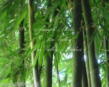 Dendrocalamus hamiltonii Exotic Giant Clumping Bamboo seeds Ships from USA