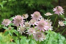 Astrantia major 'Florence' - a garden tested hardy perennial plant