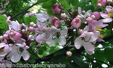 Cassia javanica Apple Blossom Shower Tree seeds  Fragrant Colorful Flowers