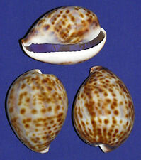 "Tiger Cowrie Cypraea tigris Shell~ 2-1/2""~Craft Seashell Select 1/2/3 Pieces."