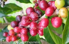 Coffea racemosa Tree Seeds Grow your own Coffee Beans Compact Houseplant Robust
