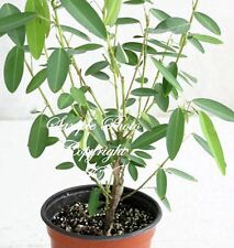 Seeds Codariocalyx motorius Dancing Plant Leaves MOVE! Great potted Houseplant