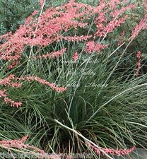 Hesperaloe parvifolia Seeds Red Yucca Coral Red Blooms Drought Tolerant