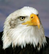 BALD EAGLE GLOSSY POSTER PICTURE PHOTO bird america usa decor wall hang hunt 424