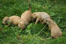 PRAIRIE DOG PUPS GLOSSY POSTER PICTURE PHOTO rodent squirrel babies cute 1676