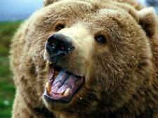 GRIZZLY BEAR GLOSSY POSTER PICTURE PHOTO silvertip brown cub cool sow scary 1158