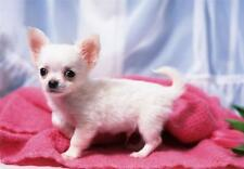 CHIHUAHUA PUPPY GLOSSY POSTER PICTURE PHOTO dog baby puppies cute pet sweet 720