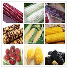 Corn 10 Seeds 9 Type Tasty Heirloom Organic Vegetable Seed Popcorn Non GMO New