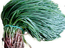 Oka Hijiki Seeds - Land Seaweed,Saltwort AKA The Healthies Greens Eaten In Asia