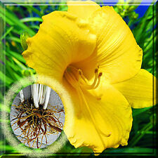 """""""Fresh Dug"""" Gourp (3 root each) Daylily Day lily Stella de Oro plant Root / Fans"""