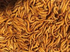 Live Giant Mealworms - Wholesale Bulk Worms - 500 1000 2000 3000 - Free Shipping