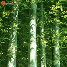 Fesh Moso Bamboo Seeds Phyllostachys Pubescens GIANT Bamboo Seeds Hardy