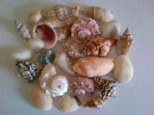 Assorted Mixed Seashells 250g 500g or 1kg Nautical Sea Shell Shabby Chic