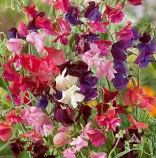 Annual Sweet Pea 'Heirloom Mix' lavender, pink, purple, red, salmon and white.