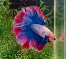 #74 Thai Import Fancy Red White Blue Rose Tail Male HM Halfmoon Betta Live Fish