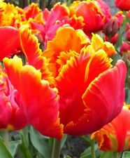 Tulip 'Bright Parrot' Flower Bulbs Gardening Borders Planting Landscaping