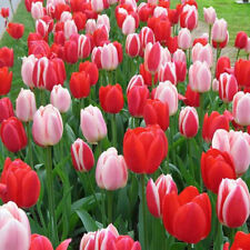 TULIP Bulb, DELIGHT MIX (fall planting Bulbs) ,12/+cm,a real show stopper